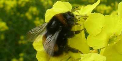 Neonicotinoid pesticide reduces egg development in wild bumblebee queens